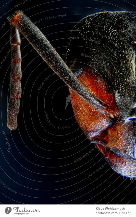 Under my feet1 Nature Animal Dead animal Animal face Ant emcee Red wood ant Blue Brown Orange Black Feeler Compound eye Chitin Colour photo Studio shot Close-up