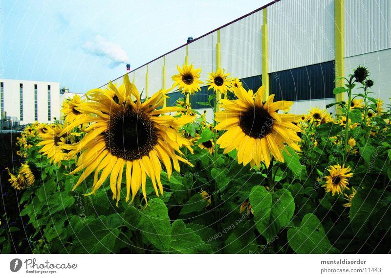 sunflowers Yellow Green Flower Plant Sun
