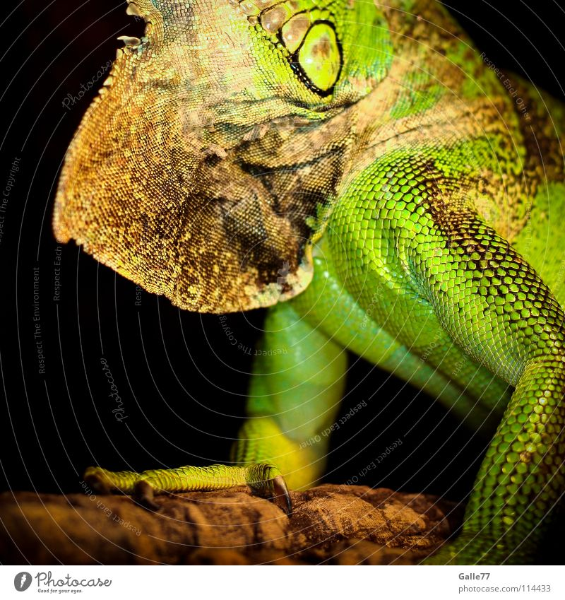 Green Animal Posture Barn Reptiles Saurians Terrarium Dinosaur Iguana Agamidae