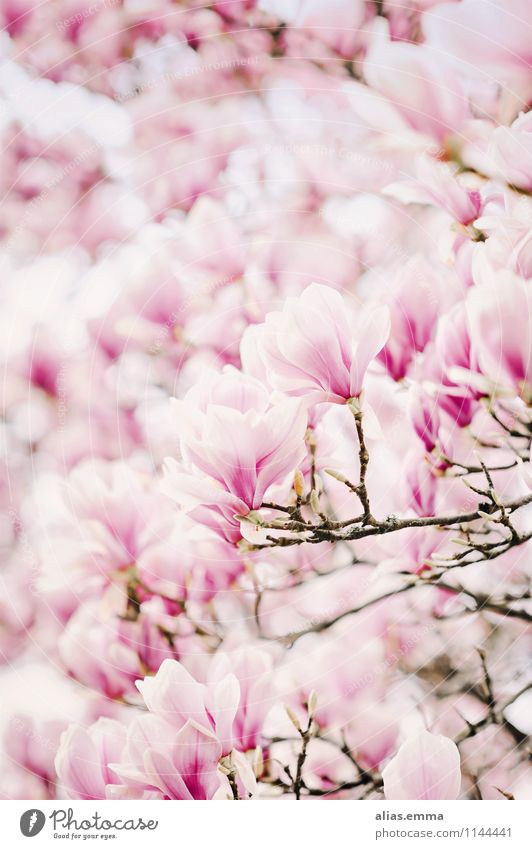 Magnolia.sea Magnolia plants Magnolia blossom Blossom Tree Pink Plant Spring Beautiful Elegant Nature Natural Soft Smooth Blossoming Flower Bud Wallpaper Many