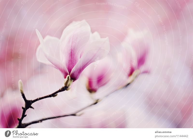 magnolia Magnolia plants Magnolia blossom Blossom Tree Pink Plant Spring Beautiful Elegant Nature Soft Smooth Blossoming Flower Bud April Twig Garden Decoration