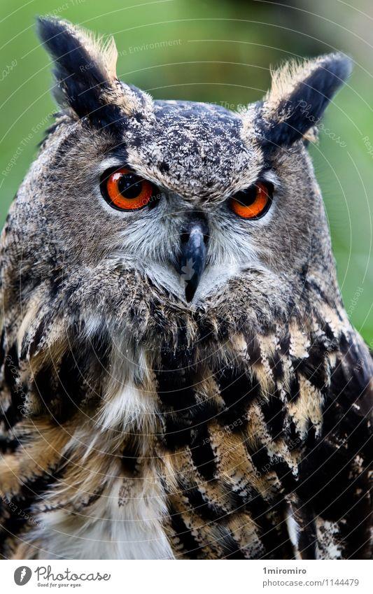 Owl Animal Bird 1 Brown Green Beak eyes Feather Story Hunter orange pray predator stare Vision Colour photo Day Looking