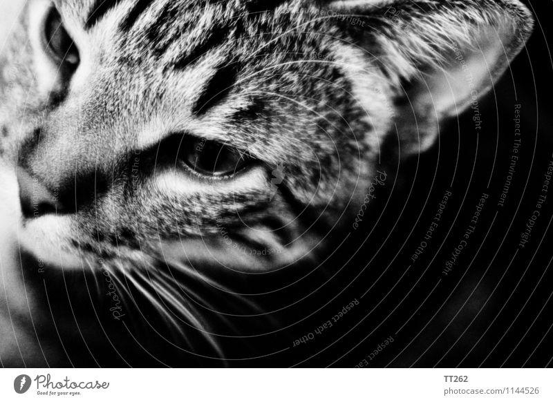 Katzenjammer II Animal Pet Wild animal 1 Looking Black White Black & white photo Copy Space right Copy Space bottom