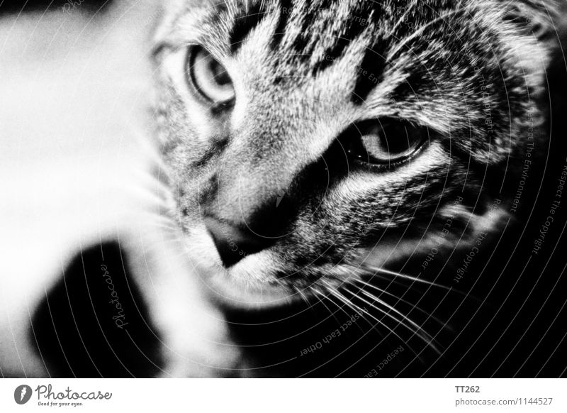 Katzenjammer I Animal Pet Wild animal Cat 1 Looking Black & white photo
