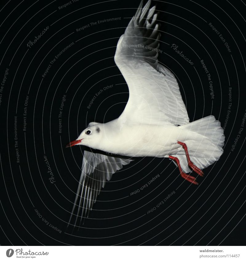 night flight Seagull Black-headed gull  Night Night shot Dark Bird Ocean Beach Sky Aviation Flying Wing Feather