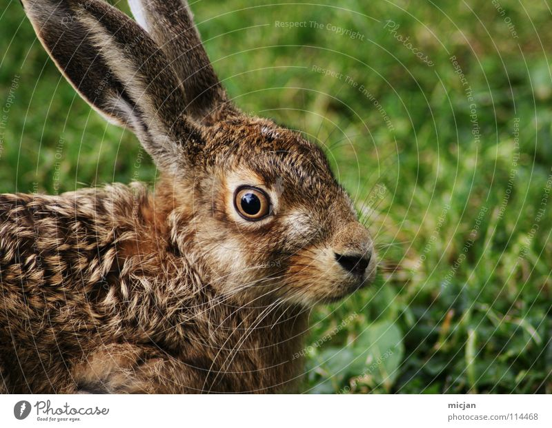 Nature Green Animal Eyes Grass Brown Fear Wild animal Nose Cute Easter Pelt Living thing Animal face Hare & Rabbit & Bunny Watchfulness