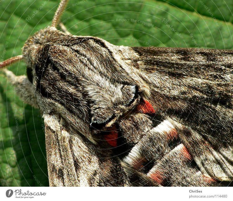 Winch Hawk_03 (Agrius convolvuli) Morning glory sphinx moth Butterfly Pelt Insect Animal Summer Gray Brown Red Feeler Hiking Moth Camouflage colour