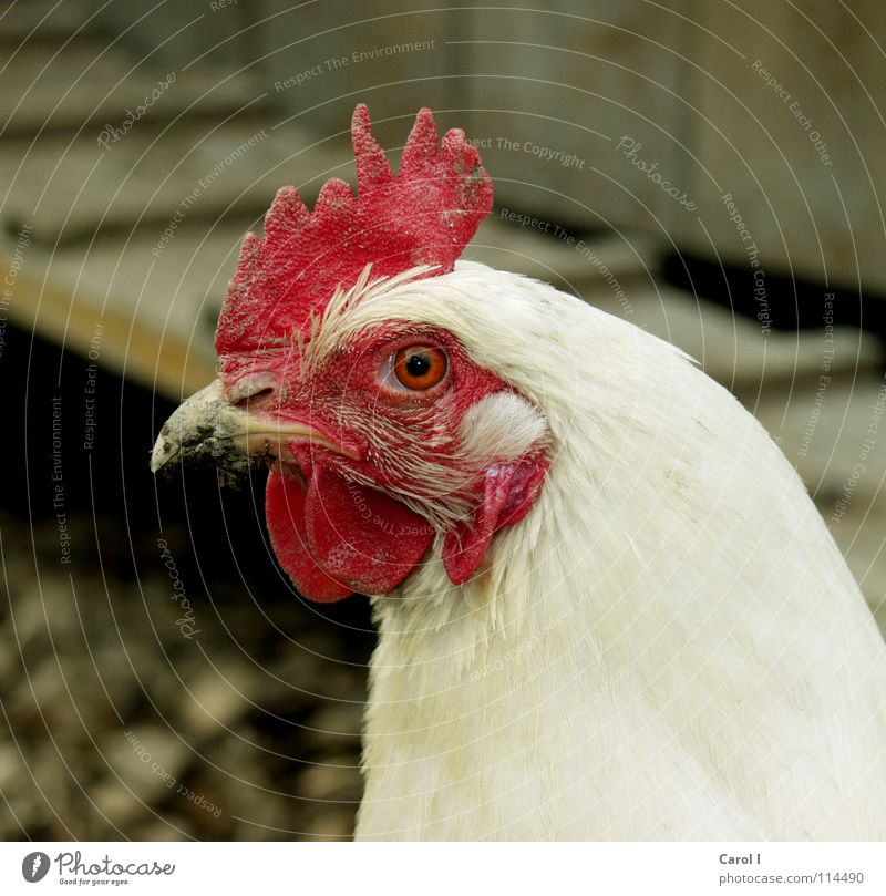 White Red Eyes Bird Feather Farm Egg Ladder Beak Barn fowl Farm animal Rooster Comb Useful Animal Rocking