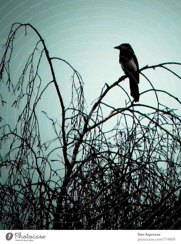 pica pica Clouds Tree Bushes Bird Threat Dark Creepy Fear Disaster Black-billed magpie Raven birds Crow Eerie Evil Mystic Devil Cemetery Branch Twig raven night