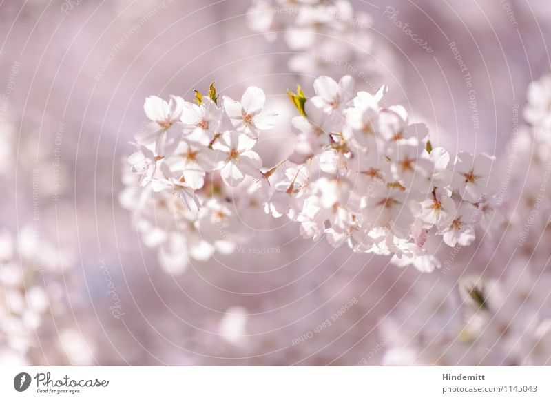 candy Environment Nature Plant Spring Beautiful weather Tree Leaf Blossom Cherry blossom Blossoming Hang Growth Esthetic Elegant Soft Green Pink White Happy
