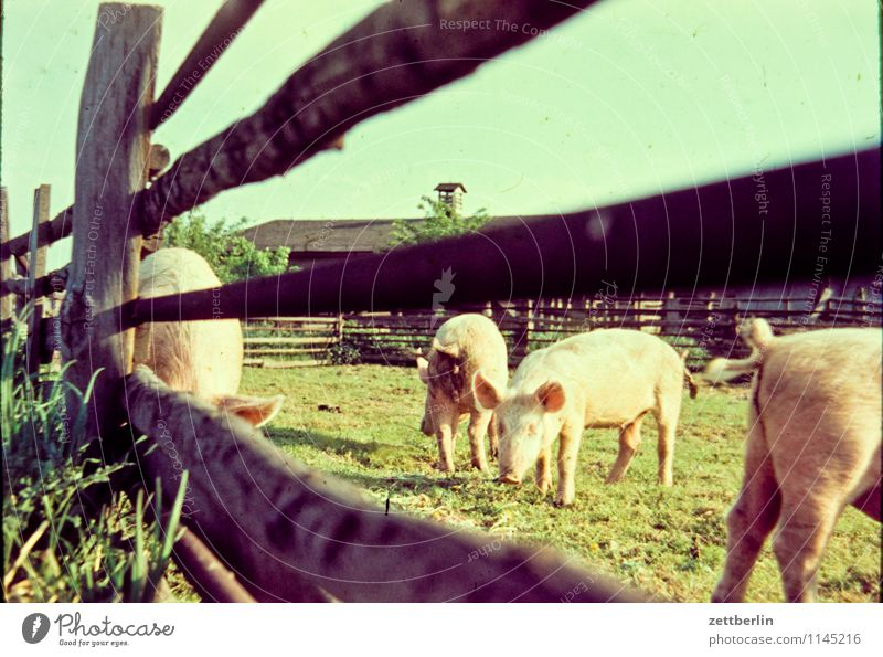 pigs Swine Pigs Pet Animal omnivorous Free-range rearing Organic produce Organic farming Pasture Fold Fence Wooden fence Herd rotted Meat Agriculture Farm Sow