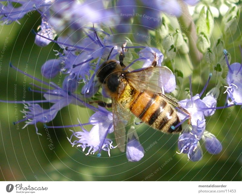 Plant Black Yellow Blossom Violet Wing Bee Calculation