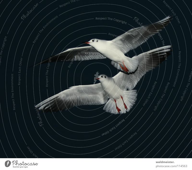 synchronous flight Seagull Black-headed gull  Night Night shot Dark Bird Ocean Beach Sky Aviation Flying Wing Feather