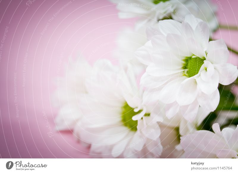 White Flower Joy Blossom Love Background picture Pink Lie Decoration Birthday Blossoming Gift Wedding Mother Card Violet