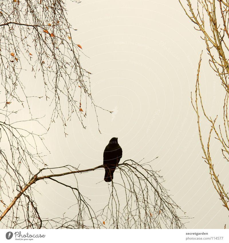 krâwa (Old High German), square Crow Raven birds Bird Tree Leaf Leafless Winter Autumn Crouch Crouching Room Bad weather Clouds Calm Relaxation Grief Boredom