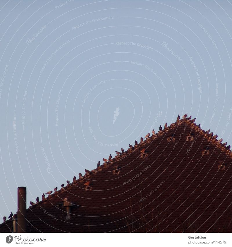 To talk Bird Sit Wait Tall Roof Level Meeting Row Pigeon Chimney Airy Poultry Roofing tile Formulated Side by side