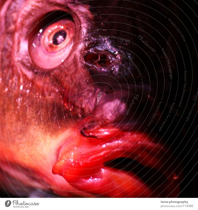 Red Animal Death Eyes Glittering Fresh Fish Animal face Facial expression Obscure Smoothness Muzzle Partially visible Pupil Fish eyes Carp