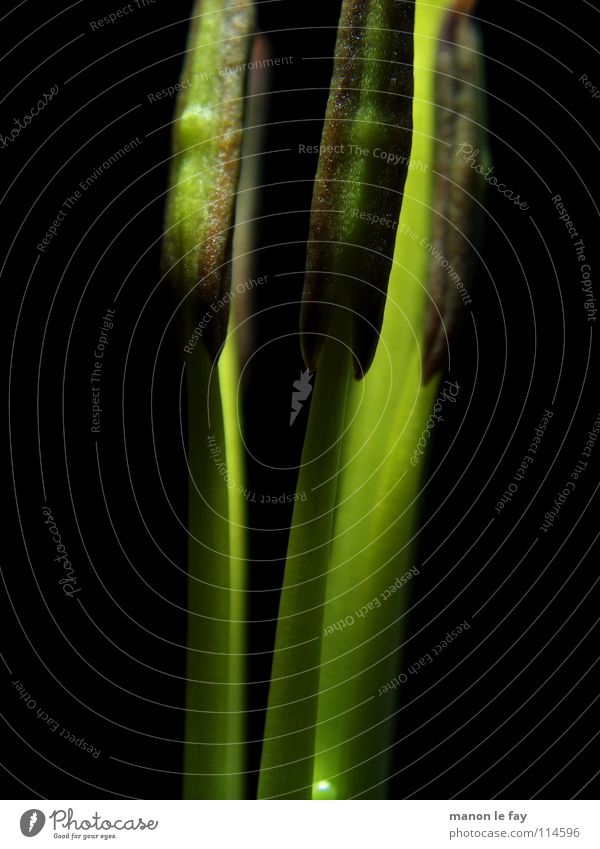 funk Green Black Plant Blossom Whimsical Life Pistil Stamen Exceptional Delicate Dust Lily Light Dim Lily plants Flower Macro (Extreme close-up) Close-up