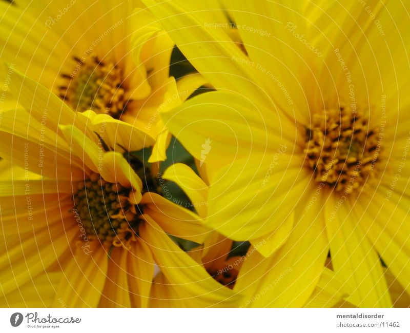 threesome Yellow Flower Blossom Leaf Plant Pollen