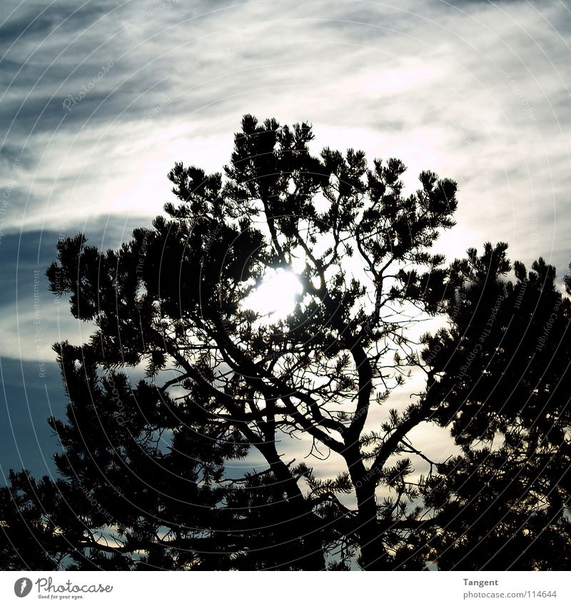 Sky Tree Sun Clouds Branch Vail Coniferous trees Celestial bodies and the universe Fir needle