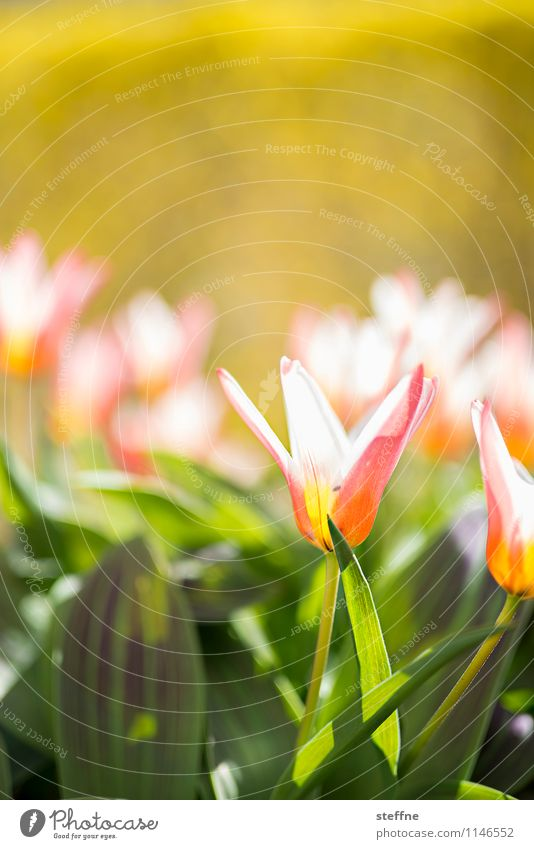 Flower Life Blossom Spring Blossoming Beautiful weather Easter Tulip Bulb flowers