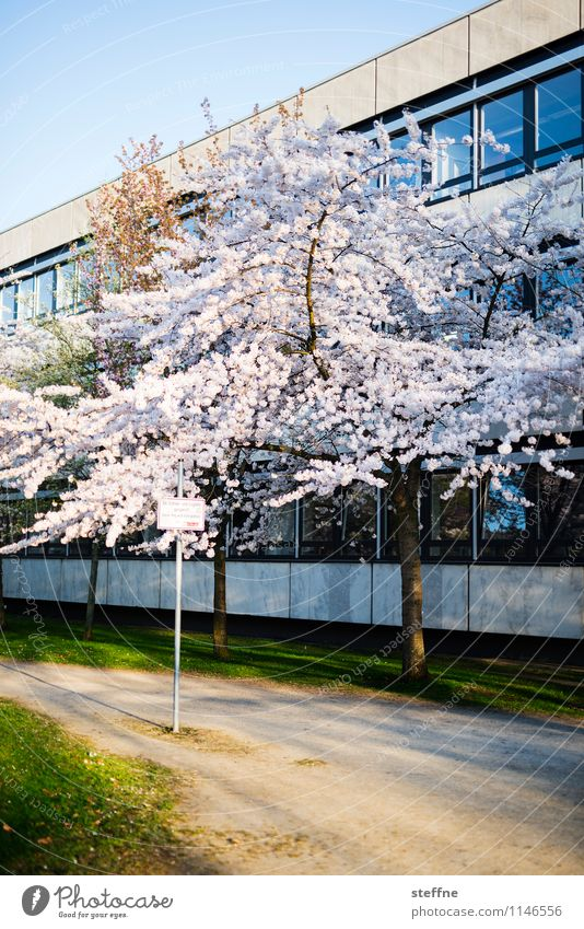 Tree Life Spring Blossom Blossoming Beautiful weather Cherry blossom Goettingen Ornamental cherry