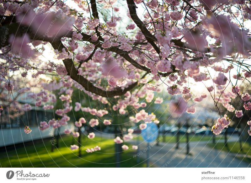 Spring I Tree Blossoming Ornamental cherry Cherry blossom Life Beautiful weather Sunlight Goettingen
