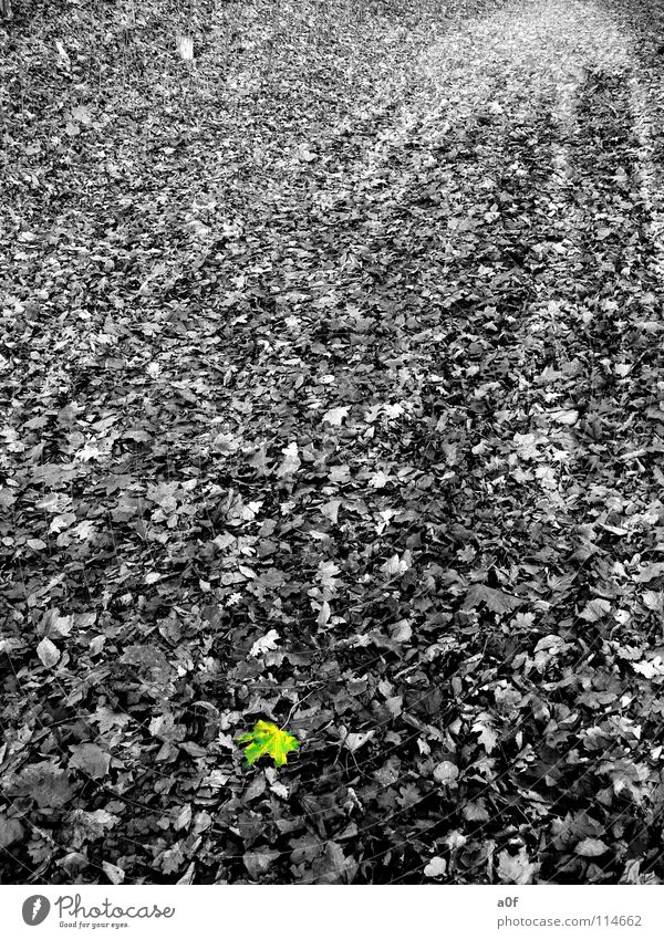 only one Autumn Leaf Black & white photo Contrast Colour Gloomy undulated