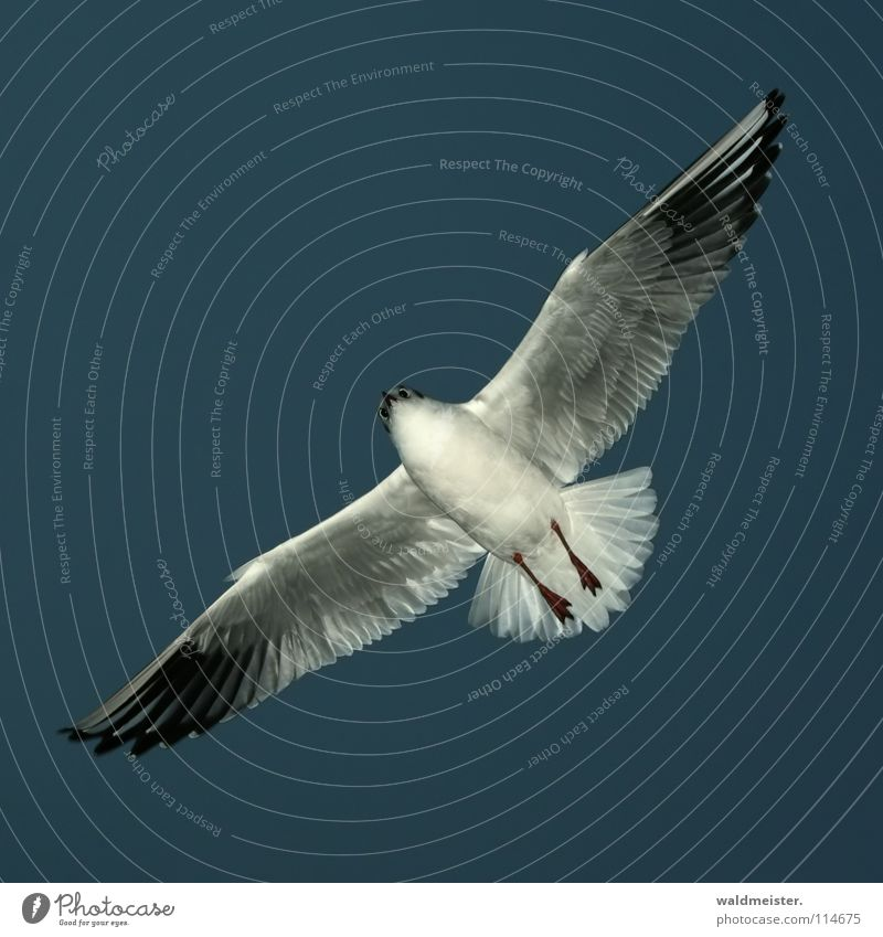 Sky Ocean Beach Bird Flying Aviation Feather Wing Seagull Animal Black-headed gull