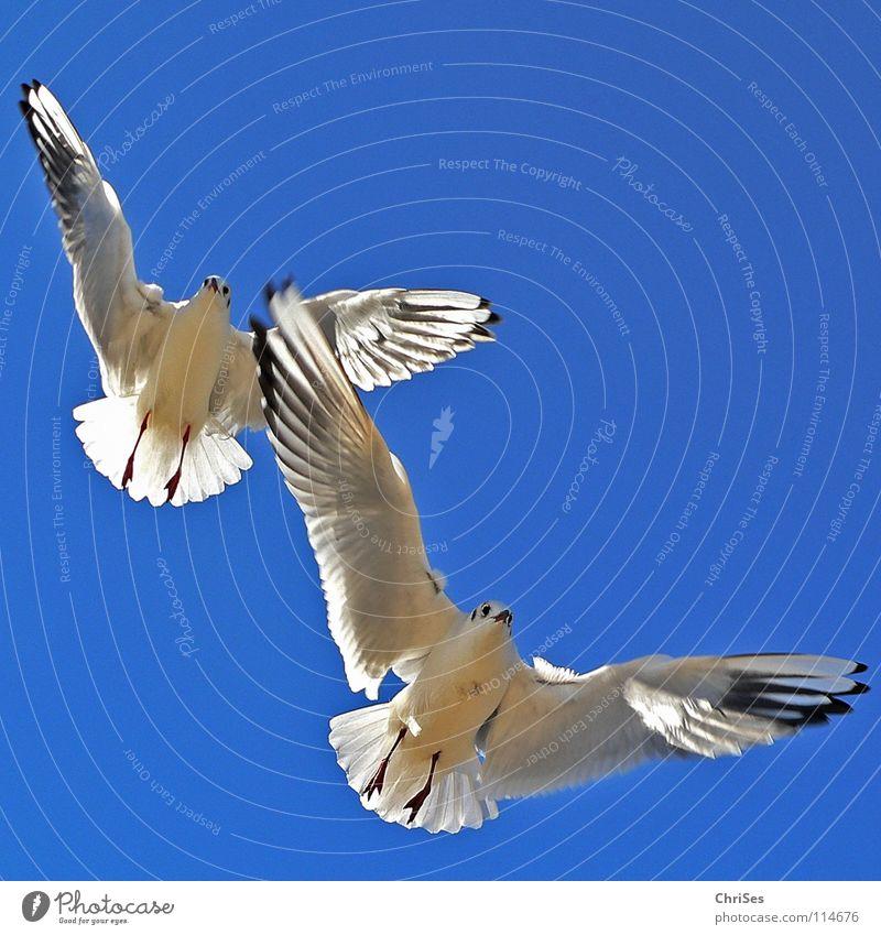 Sky Blue White Summer Ocean Animal Clouds Black Gray Lake Bird Flying Free Seagull Sky blue Vapor trail