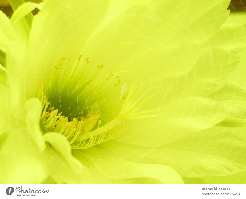 Cactus flower *6 Yellow Leaf Pollen