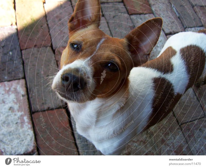 What are you looking at? Dog Small Brown White Ear Nose