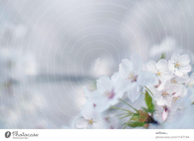 Flower dream in spring Spring Blossom Blossoming Ornamental cherry Cherry blossom Twig Dream Esthetic pretty White Delicate Pastel tone Spring colours