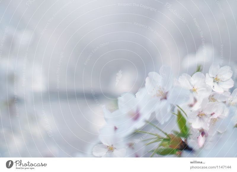 Nature Plant Beautiful White Blossom Spring Bright Dream Esthetic Blossoming Delicate Twig Fragrance Ease Spring fever Pastel tone