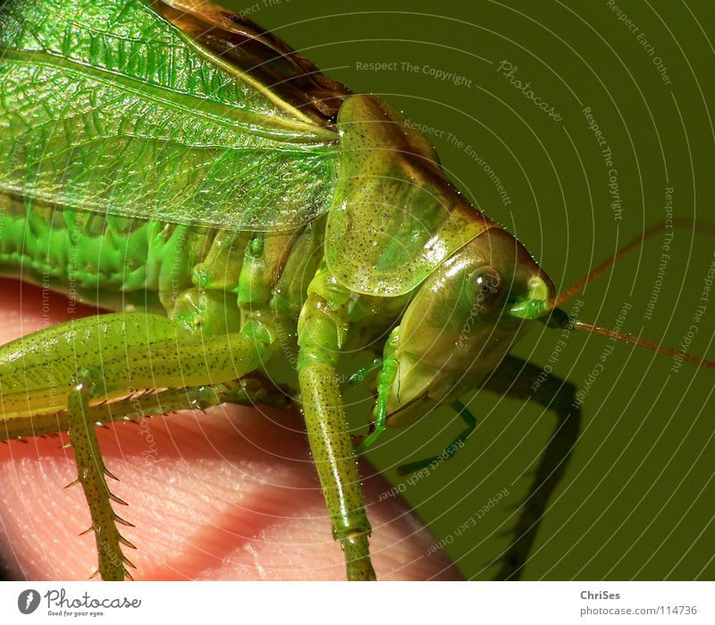 Green hay horse 02 (Tettigonia viridissima) Great green bushcricket Long-horned grasshopper Locust House cricket Feeler Summer Insect Animal Hop Jump