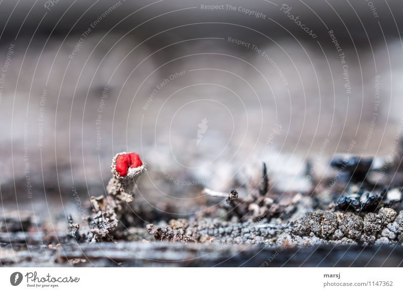 Very small, red and sprayed on? Nature Plant Moss Wild plant Lichen Exceptional Dark Authentic Simple Exotic Creepy Cold Red lichen blossom