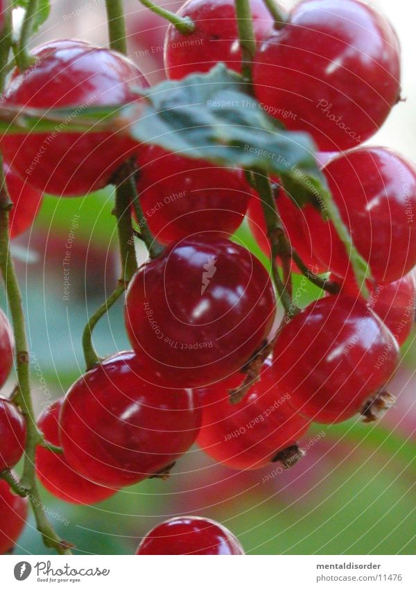 Green Red Leaf Round Redcurrant