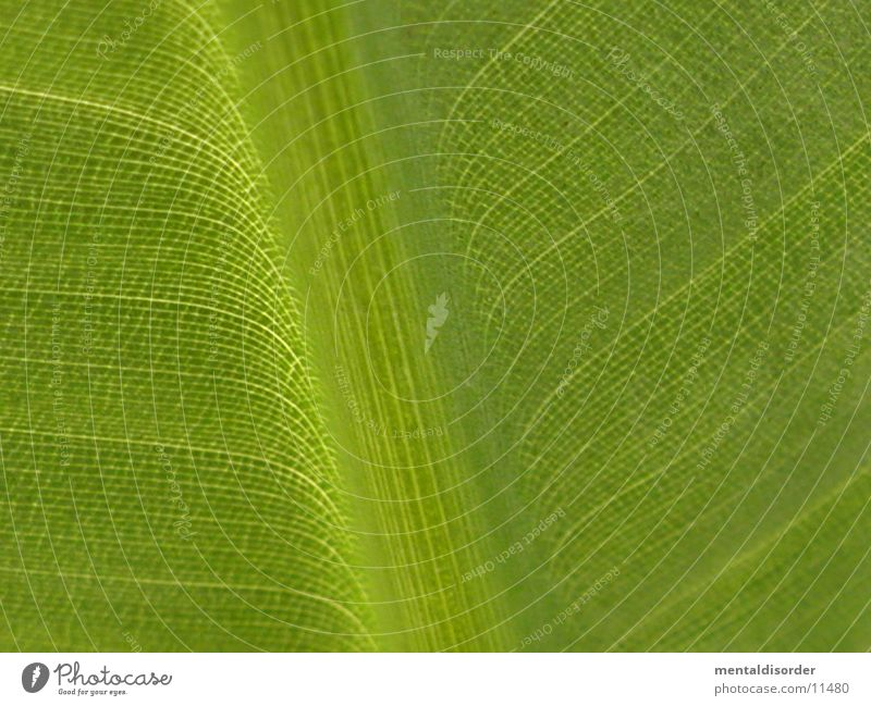 Green Leaf Line Rachis Flare Banana tree