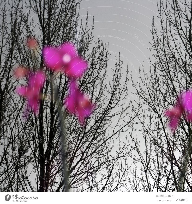 Sky Tree Flower Winter Black Window Gray Pink Branch Vantage point Longing Blossoming Treetop Obscure Orchid Branchage