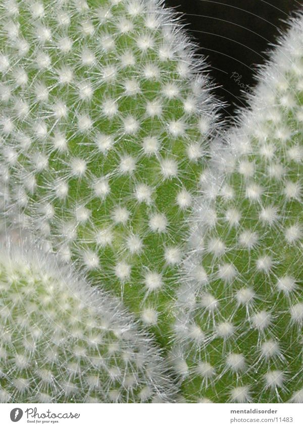 prickly Cactus Green White