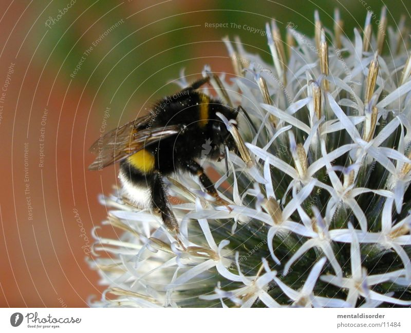 Plant Black Yellow Blossom Wing Bee Calculation