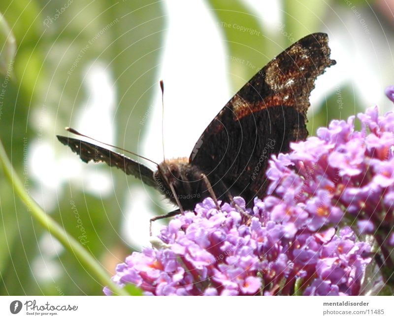 Butterfly *4 Flower Red Black Wing plant
