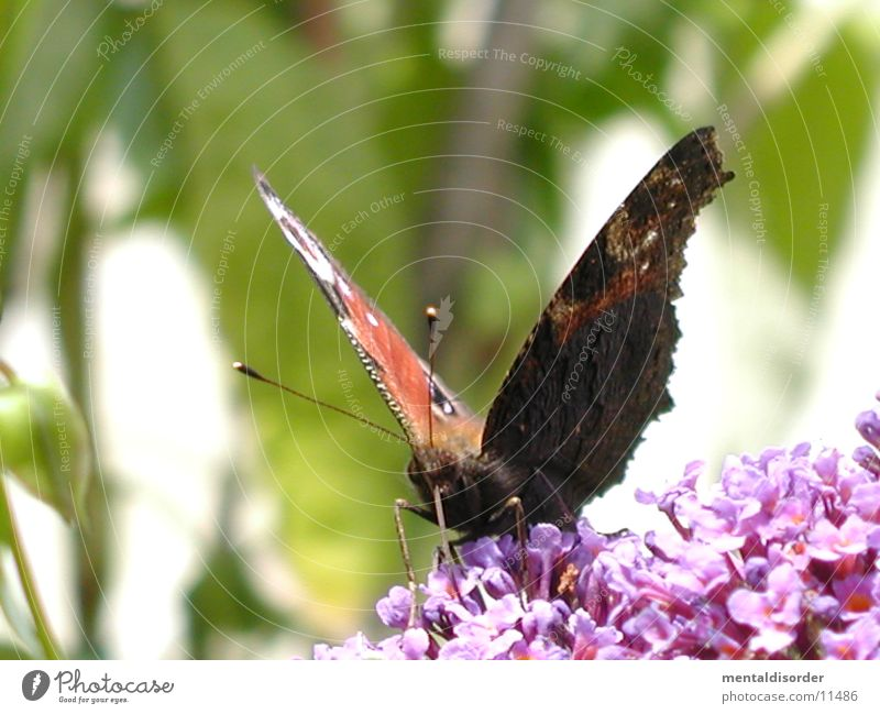 Flower Red Black Wing Butterfly