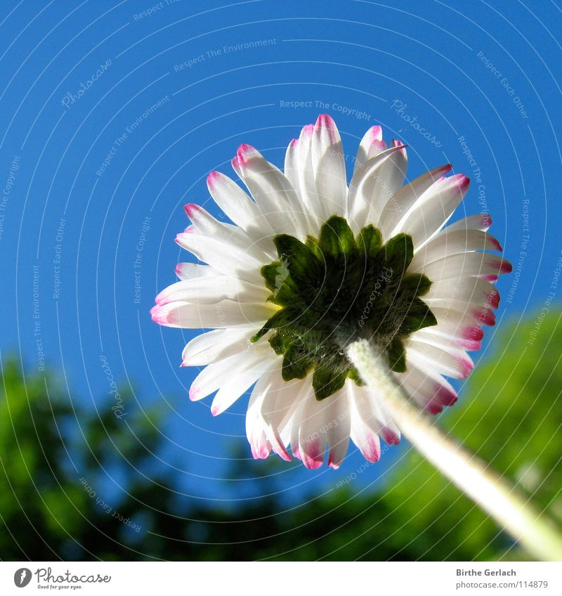 She wants to get high so badly! Flower Daisy Summer Spring Tall Ambitious Single-minded Dream Blue Blossoming Lighting Sky Target be big