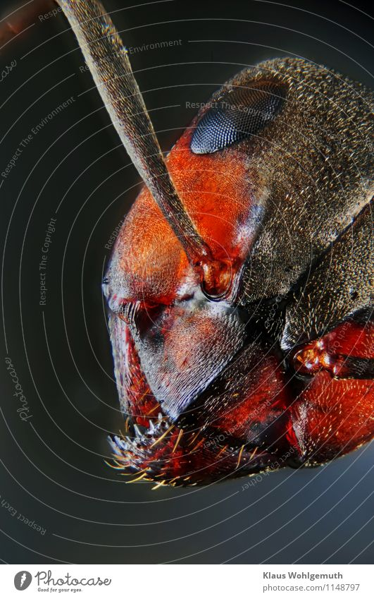 The eyes of others Nature Animal Forest Animal face Ant Red wood ant Insect 1 Blue Brown Orange Black White Chitin Colour photo Close-up Detail