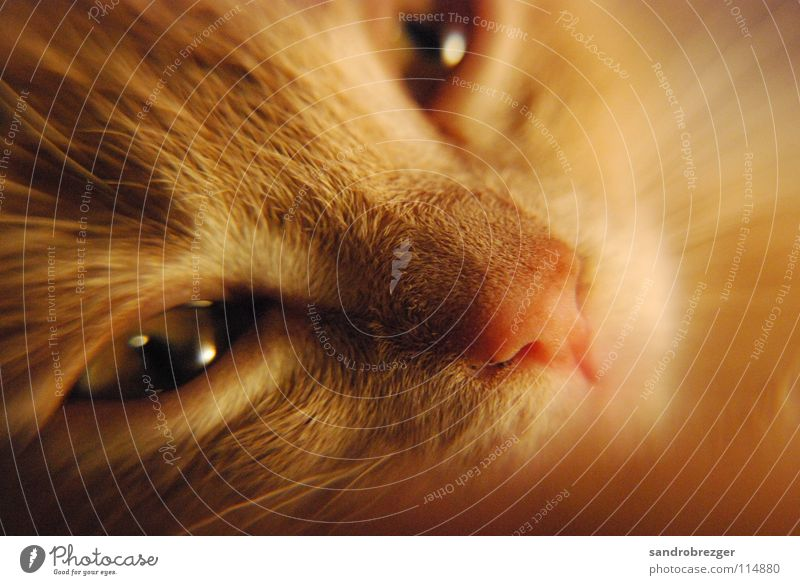 Cat Warmth Eyes Lie Dream Pelt Fatigue Mammal Domestic cat Dreamily Cuddly Snout Cat eyes Meow Cat eyes
