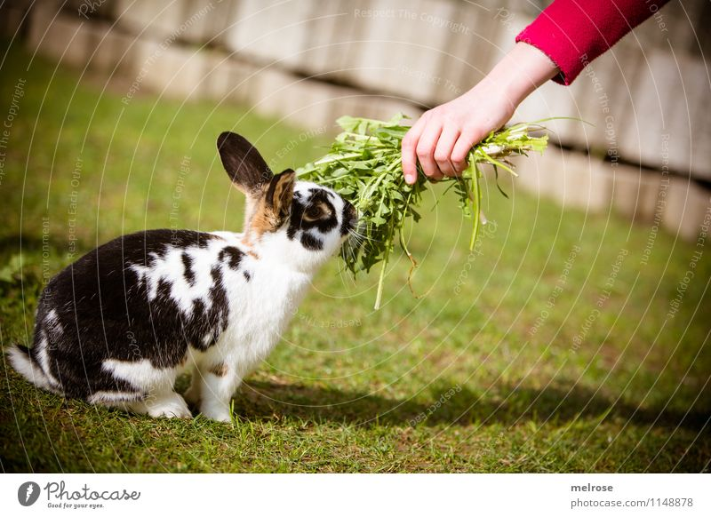 finally food Dandelion rabbit food Girl Hand Fingers 1 Human being 8 - 13 years Child Infancy Spring Beautiful weather Garden Pet Pelt Paw Pygmy rabbit Mammal