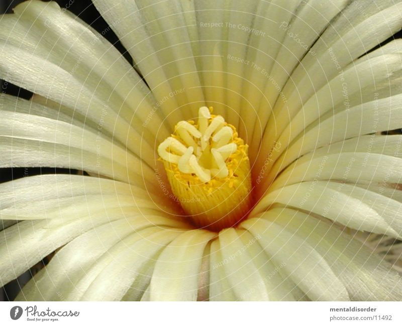 very close *1 Blossom Yellow White Cactus Pollen