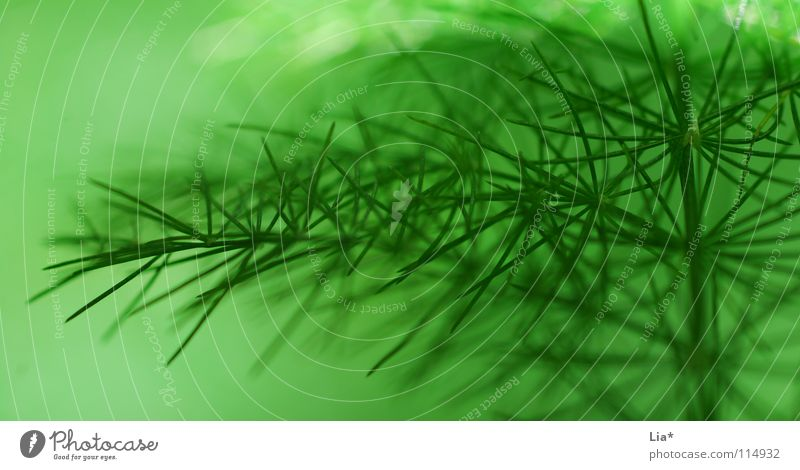 Nature Green Plant Background picture Fresh Bushes Soft Peace Delicate Fir tree Easy Smooth Noble Fine Branchage