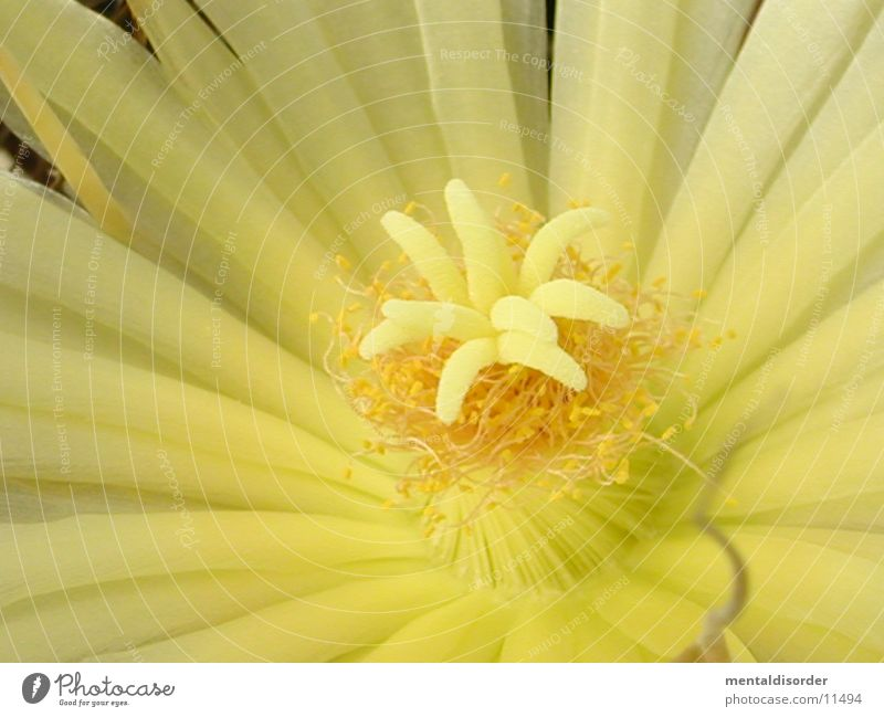 White Yellow Blossom Pollen Cactus